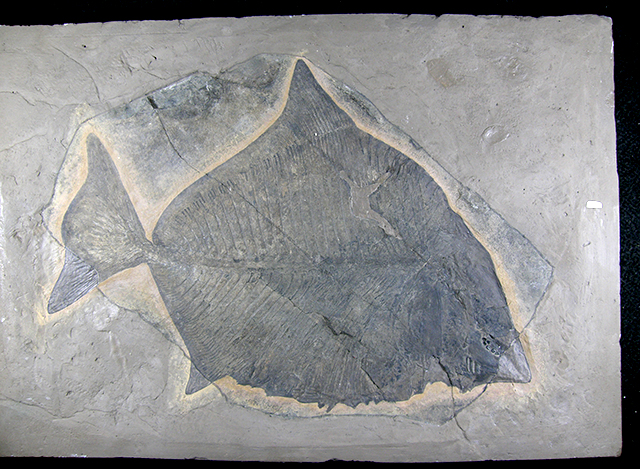 Pesce-fossile-di-Comeno